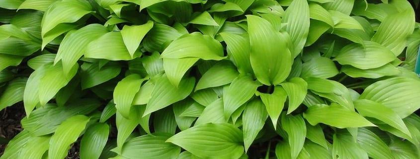 Hosta_lancifolia_leaves