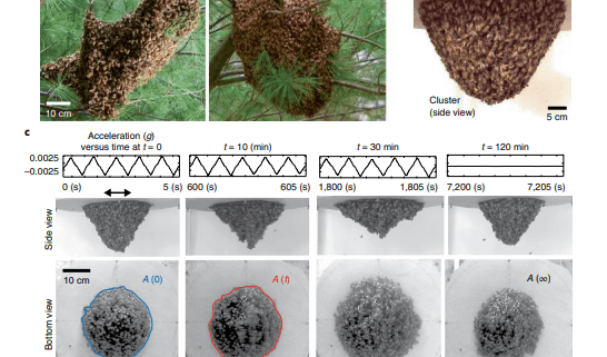 Collective mechanical adaptation of honeybee swarms