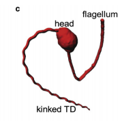 Structural dynamics of an actin spring
