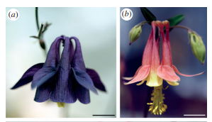 Evolution of spur-length diversity in Aquilegia petals is achieved solely through cell-shape anisotropy