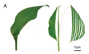 The shape of a long leaf