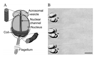 Force of an actin spring