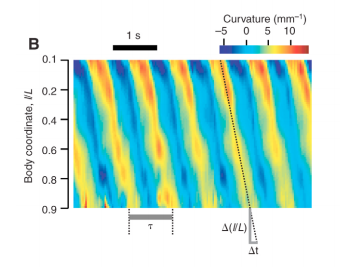 Mechanosensation and mechanical loads modulate the locomotory gait of swimming C. elegans