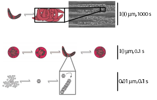 Sickle cell vaso-occlusion and rescue in a microfluidic device