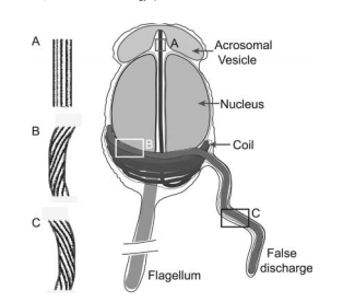 Stored elastic energy powers the 60-micron extension of the Limulus polyphemus sperm actin bundle,