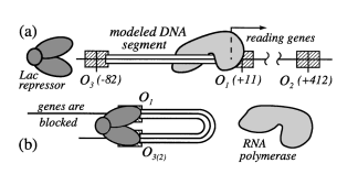 Elastic model of a DNA loop in the lac operon,