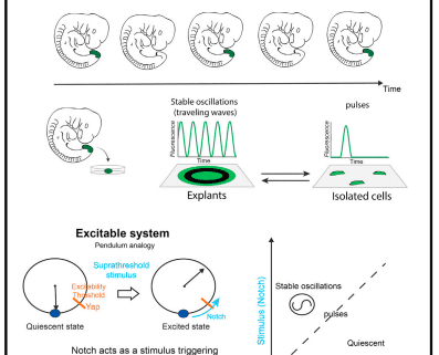 Excitable dynamics and yap-dependent mechanical cues drive the segmentation clock