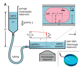 Pressure-driven occlusive flow of a confined red blood cell