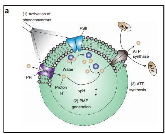 Photosynthetic artificial organelles sustain and control ATP-dependent reactions in a protocellular system