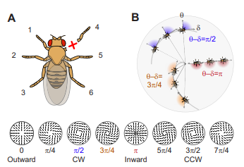 Recovery of locomotion after injury in Drosophila melanogaster depends on proprioception