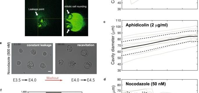Hydraulic control of mammalian embryo size and cell fate