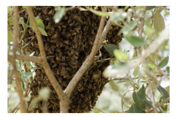 Collective thermoregulation in bee clusters