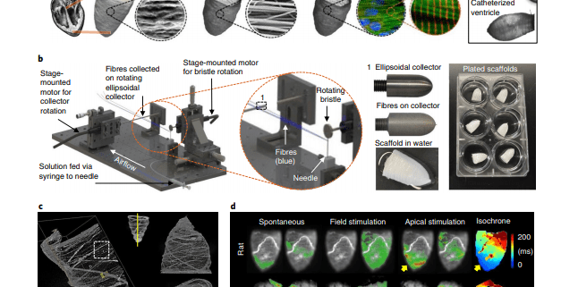 A tissue-engineered scale model of the heart ventricle