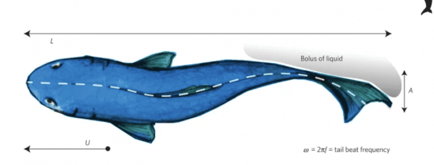 Scaling aquatic locomotion