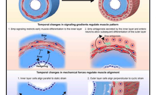 Genetic and Mechanical Regulation of Intestinal Smooth Muscle Development