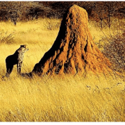 How termite mounds get their shape